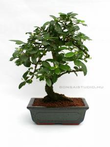belteri bonsai szoba bonsai ficus ulmus carmona serissa es mas bonsaj fa kinalat rendelheto vasarlasi lehetoseg