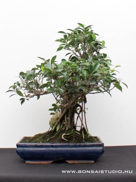 pin ficus bonsai on pinterest. Black Bedroom Furniture Sets. Home Design Ideas