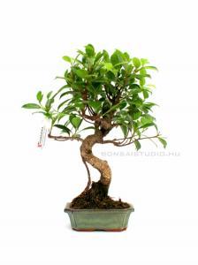 marczika bonsai studio nyereményjáték nyereménye egy ficus retusa bonsai