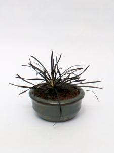 Fekete Ophiopogon