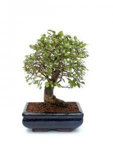 Kínai szil bonsai - Ulmus parvifolia kék mázas tálban