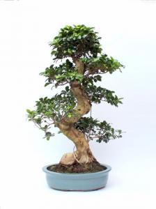 Ficus nagy méretű bonsai