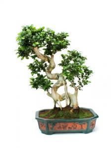 Hajlított törzsű Ficus bonsai