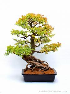 Kínai szil nagy méretű bonsai