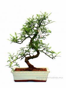 Borsfa bonsai 25S - Zanthoxyllum piperitum