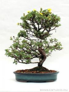 Potentilla fruticosa bonsai 01.