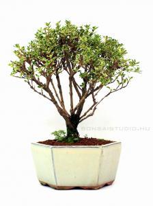 Tarkalevelű Ezercsillagfa bonsai