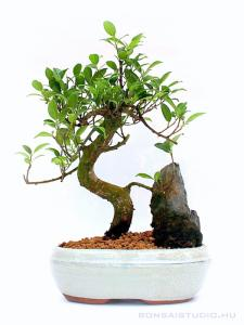Ficus retusa bonsai kővel