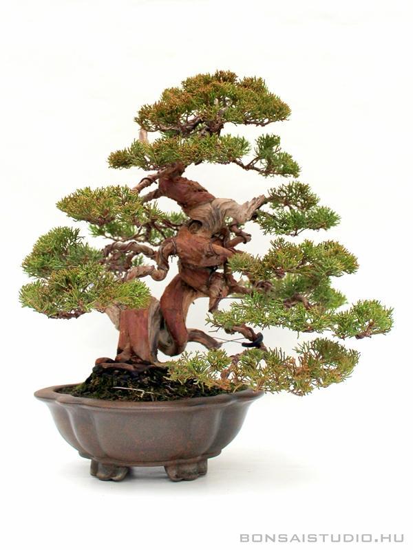 Itoigawa Japan  City new picture : ... itoigawa, juniperus chinensis itoigawa bonsai, japan bonsai, japanese