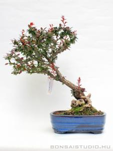 Berberis thunbergii bonsai 03.