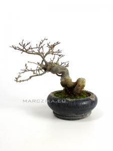 Ilex serrata shohin bonsai 04.