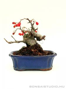 Photinia villosa shohin bonsai 03.