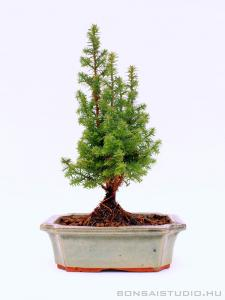 Chamaecyparis sp. bonsai 01.