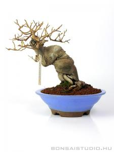 Ilex serrata shohin bonsai 06.