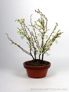 Prunus incisa 'Koju no Mai' pre bonsai