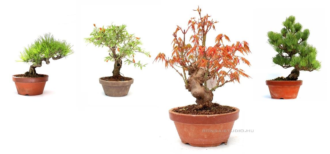 bonsai alapanyagok bonsai eloanyagok prebonsaiok és yamadorik a marczika bonsai kerteszet elado bonsai faibol erden