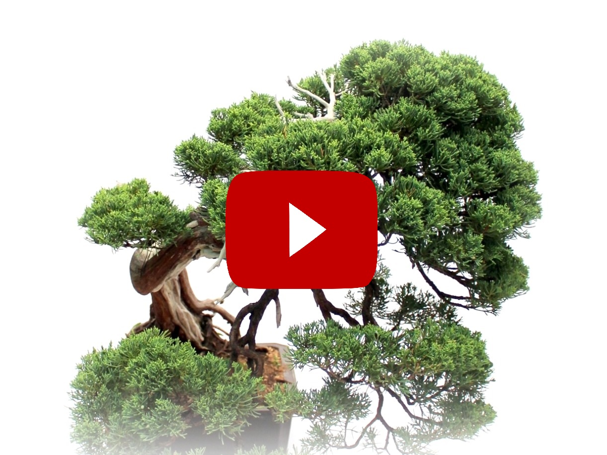 marczika bonsai studio bonsai video csatorna